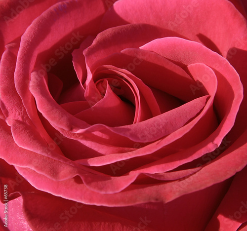 Leinwanddruck Bild pink rose