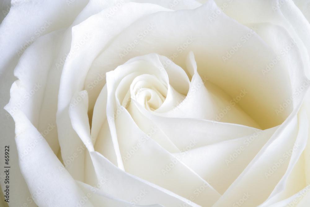 Ślubna róża - powiększenie
