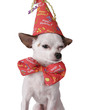 chihuahua in a birthday hat