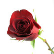 canvas print picture deep red rose