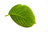 hydrangea leaf on white poster