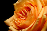 peach rose over black poster