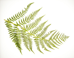 fern frond on white