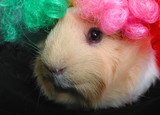 guinea pig with clown wig poster