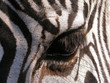 zebra – close-up on eye