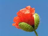 poppy bud - 72711