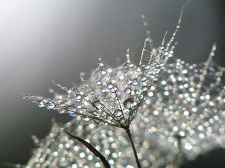waterdrops on dandelion