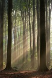 Fototapety sun rays crossing misty forest