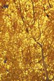 aspen, fall colors poster