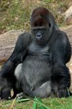 gorille poster