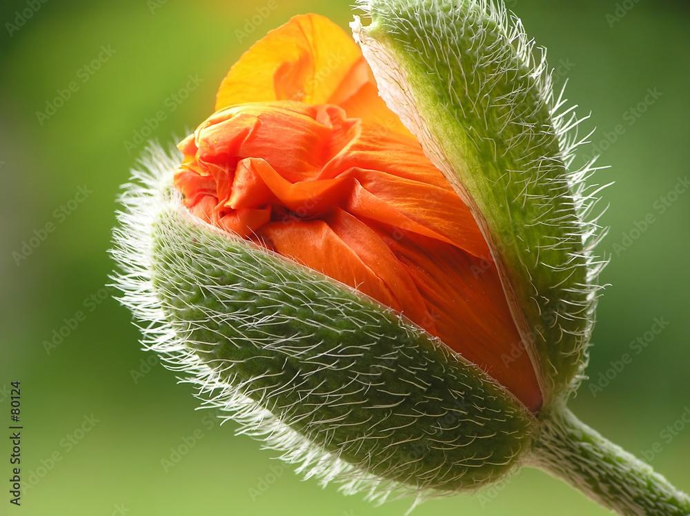 papaver pomarańczowy kwiat - powiększenie