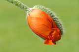 orange poppy - 80123