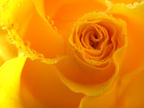 yellow rose with drops - 80139