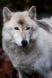 Fototapeta brytyjski - Kanada - Dziki Ssak