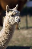 alpaca head poster
