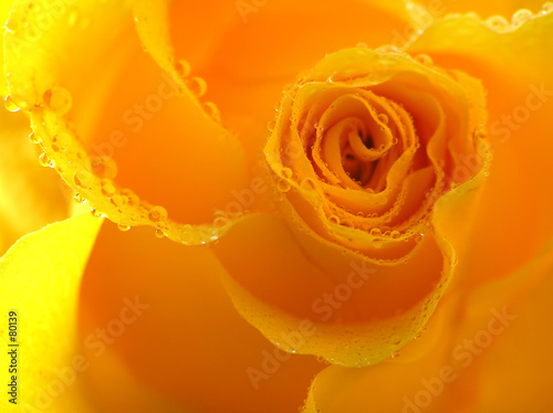 yellow rose with drops