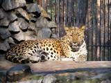 caucasian leopard poster