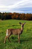 female deer on a fall day poster