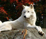 arctic wolf  laying on a rock poster
