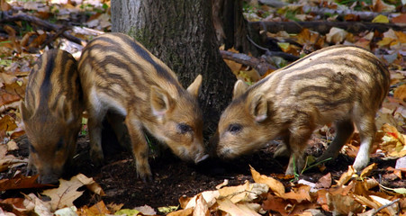 three wild piglets having fun