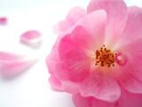 pink rose - 85722