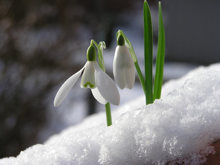 snowdrop in snow