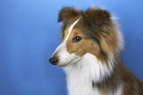 collie puppy poster