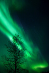 aurora and a tree