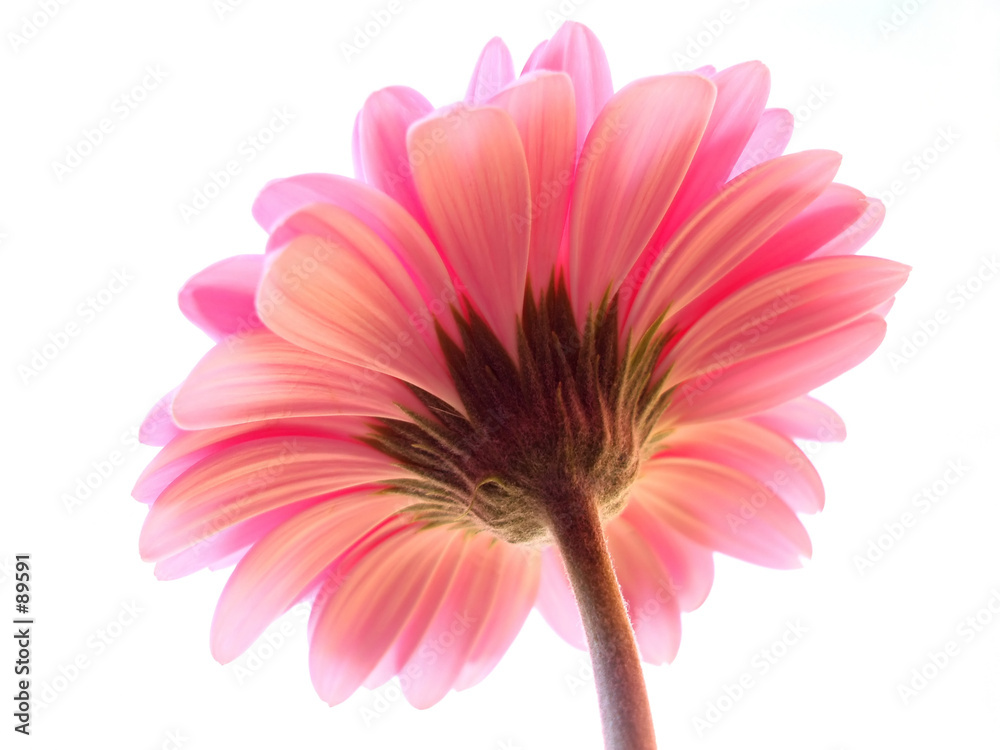 kwiat anemon tło - powiększenie