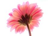 pink gerbera - 89591