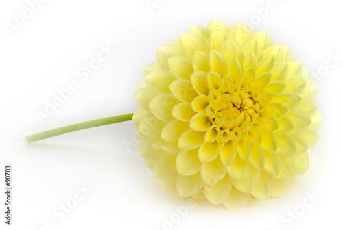 Foto op Aluminium Dahlia single yellow dahlia flower