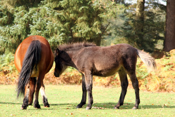 new forest pony & foal