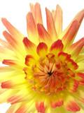 sunny-yellow   dahlia poster