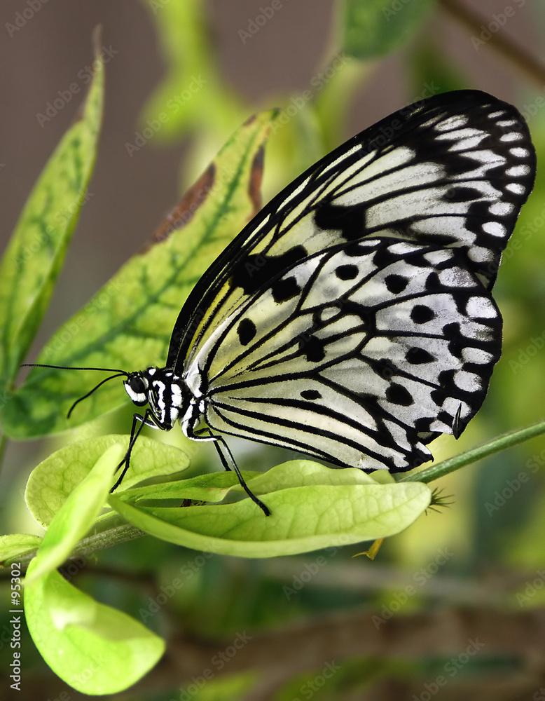 biały motyl skrzydło - powiększenie