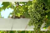 grapes in focus on vine poster