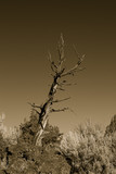bristllecone pine, oregon badlands poster