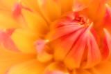 orange and salmon dahlia poster