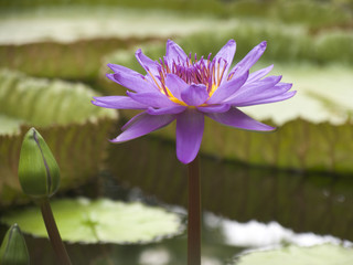 purple_lily_flower