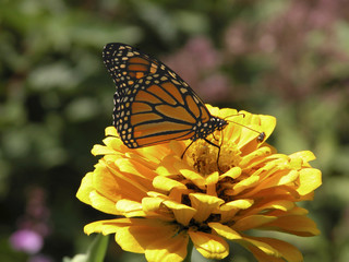 monarch butterfly-marigold
