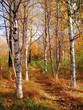 autumn in a birchwood