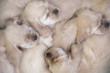 american cocker spaniel puppies sleeping