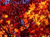 automne coréen 5 poster