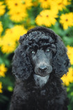 standard poodle puppy poster