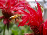 bee and beebalm poster