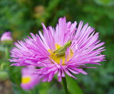 fleabane with cricket sitting on flower poster