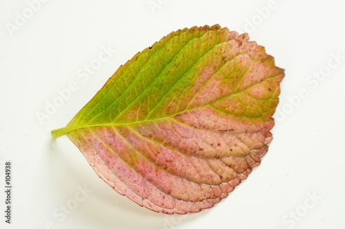 poster of hydrangea leaf on white