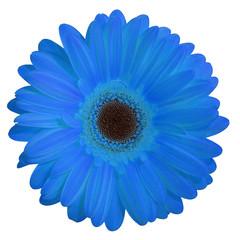 fleur (gerbera bleu)