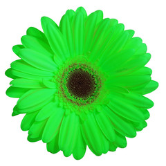 fleur (gerbera vert)