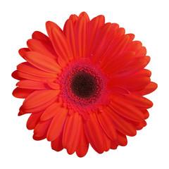 fleur (gerbera rouge)