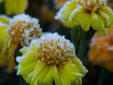 flowers under hoar-frost poster